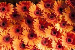 Daisy flower orange Gerbera Stock Images