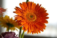 Daisy Flower Orange Gerbera On ljusbakgrund fotografering för bildbyråer