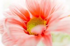 Daisy Flower Orange. Orange Daisy Flower made in studio with fill flash Royalty Free Stock Photos
