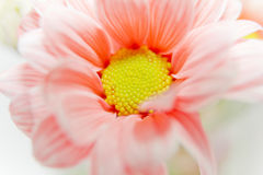 Daisy Flower Orange. Orange Daisy Flower made in studio with fill flash Royalty Free Stock Photo