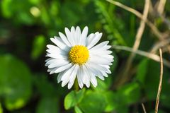 Daisy flower in the park with sunlight Royalty Free Stock Photos