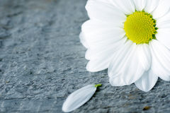 Daisy flower with petal on wood Royalty Free Stock Photography