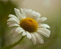 White daisy petal after rain Stock Photos