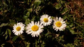 Daisy flower. Picture of daisy flower Royalty Free Stock Image
