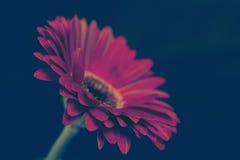 Daisy flower. Pink daisy flower on dark background Royalty Free Stock Image