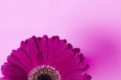 Daisy flower. Pink daisy flower on a pink background Royalty Free Stock Photo