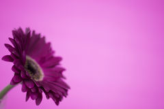 Daisy flower. Pink daisy flower on a pink background Royalty Free Stock Images