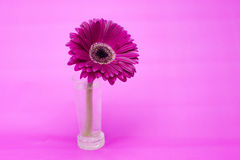 Daisy flower. Pink daisy flower on a pink background Royalty Free Stock Image