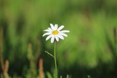 Daisy flower in Pontevedra stock image