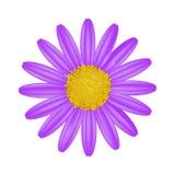 Daisy Flower porpora su un fondo bianco Fotografie Stock