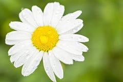 Daisy flower after rain Royalty Free Stock Photos