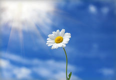 Daisy flower reaches for the sun Royalty Free Stock Photo