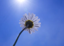 Daisy flower reaches for the sun. In the background of clouds Stock Photography