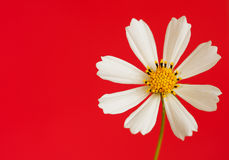 Daisy flower on red Royalty Free Stock Photography
