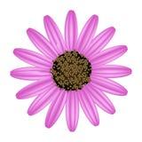 Daisy Flower rose sur un fond blanc Photographie stock