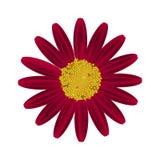 Daisy Flower rouge sur un fond blanc Photo stock
