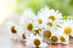 Daisy flower with shallow focus Royalty Free Stock Photos