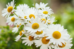 Daisy flower with shallow focus Royalty Free Stock Images