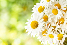Daisy flower with shallow focus Stock Photography