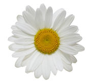 Daisy Flower Stock Image