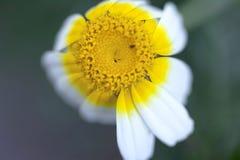 Daisy Flower Single Shoot royalty free stock photos