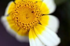 Daisy Flower Single Shoot royalty free stock photo