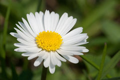 Daisy flower. Single white daisy close-up on blurred background Stock Photography
