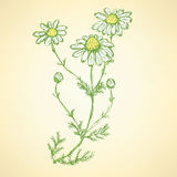 Daisy flower in sketch style Stock Photography