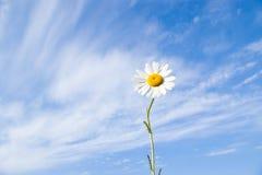 Daisy flower on sky Stock Image