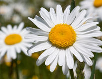 Daisy flower in spring. Close up of a spring daisy flower stock photo