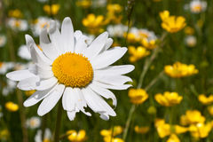 Daisy flower in spring Stock Photos
