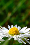 Daisy Flower In Spring. Closeup of white daisy flower in spring with blurred green grass background stock photos