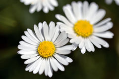 Daisy Flower In Spring. Closeup of white daisy flower in spring with blurred green grass background Stock Photography