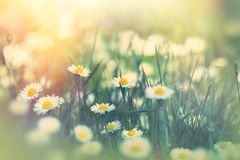 Daisy flower in spring meadow Royalty Free Stock Photo
