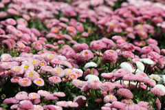 Daisy flower spring season Royalty Free Stock Photos
