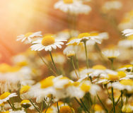 Daisy flower in spring - wild chamomile Royalty Free Stock Images
