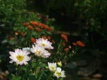 Daisy Flower sul giardino fotografia stock libera da diritti
