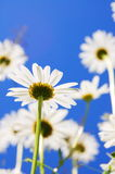 Daisy flower in summer Royalty Free Stock Photo