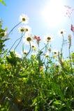 Daisy flower in summer with blue sky Stock Photos