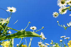 Daisy flower in summer with blue sky Royalty Free Stock Images