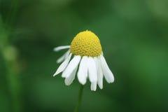 Daisy flower on summer meadow closeup macro shot. Shallow focus Stock Photo