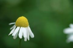 Daisy flower on summer meadow closeup macro shot. Shallow focus Royalty Free Stock Image