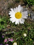 Daisy Flower fotografia de stock royalty free