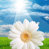 Daisy flower in sunny field Royalty Free Stock Photography