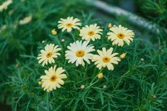 Daisy Flower Surrounded by Grass Stock Photography
