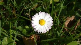 Daisy Flower Sway In il vento video d archivio