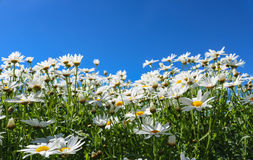 The daisy flower symbolizes innocence, a loyal love and gentlene. Ss. Daisy flower is a powerful healing herb that works great and it's been used for thousands Stock Image
