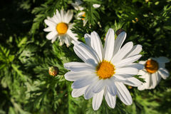 The daisy flower symbolizes innocence, a loyal love and gentlene Stock Image