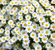 Daisy Flower. Daisy symbolizes innocence and purity. It can also symbolize new beginnings royalty free stock photos