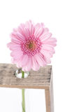 Daisy flower in test tubes Royalty Free Stock Photos